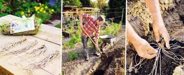 Выращивание спаржи в домашних условиях – где посадить и как ухаживать?