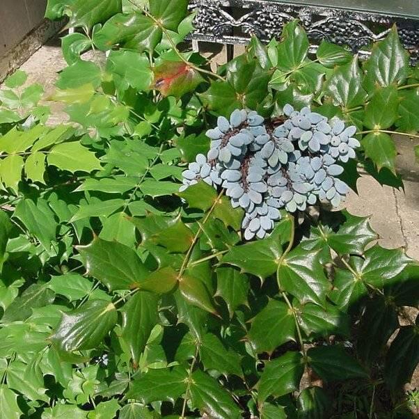 Падуболистная магония - выращивание. почва, грунт. посадка, уход, размножение, пересадка. агротехнические технологии