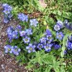 Растения для альпийской горки: названия и фото, озеленение своими руками. нюансы выбора цветов, схемы размещения растений. озеленение альпийской горки хвойниками