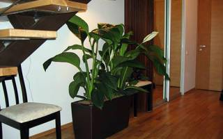 Спатифиллум: уход и выращивание в домашних условиях, фото