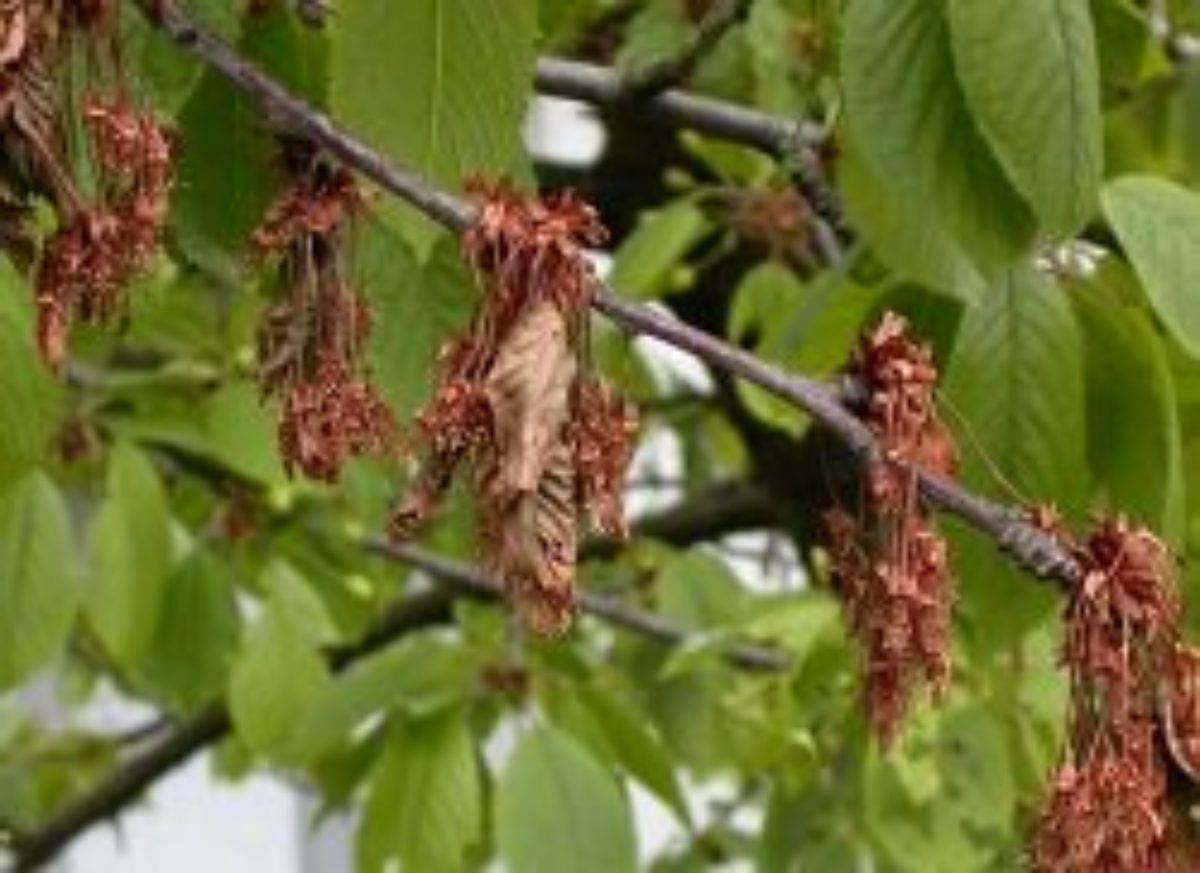 Как бороться с вишнёвой мухой