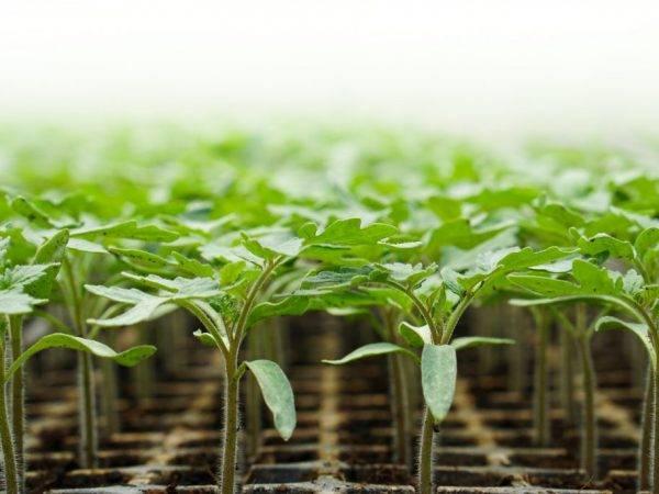 Особенности сорта, посадки и ухода за актинидией коломикта
