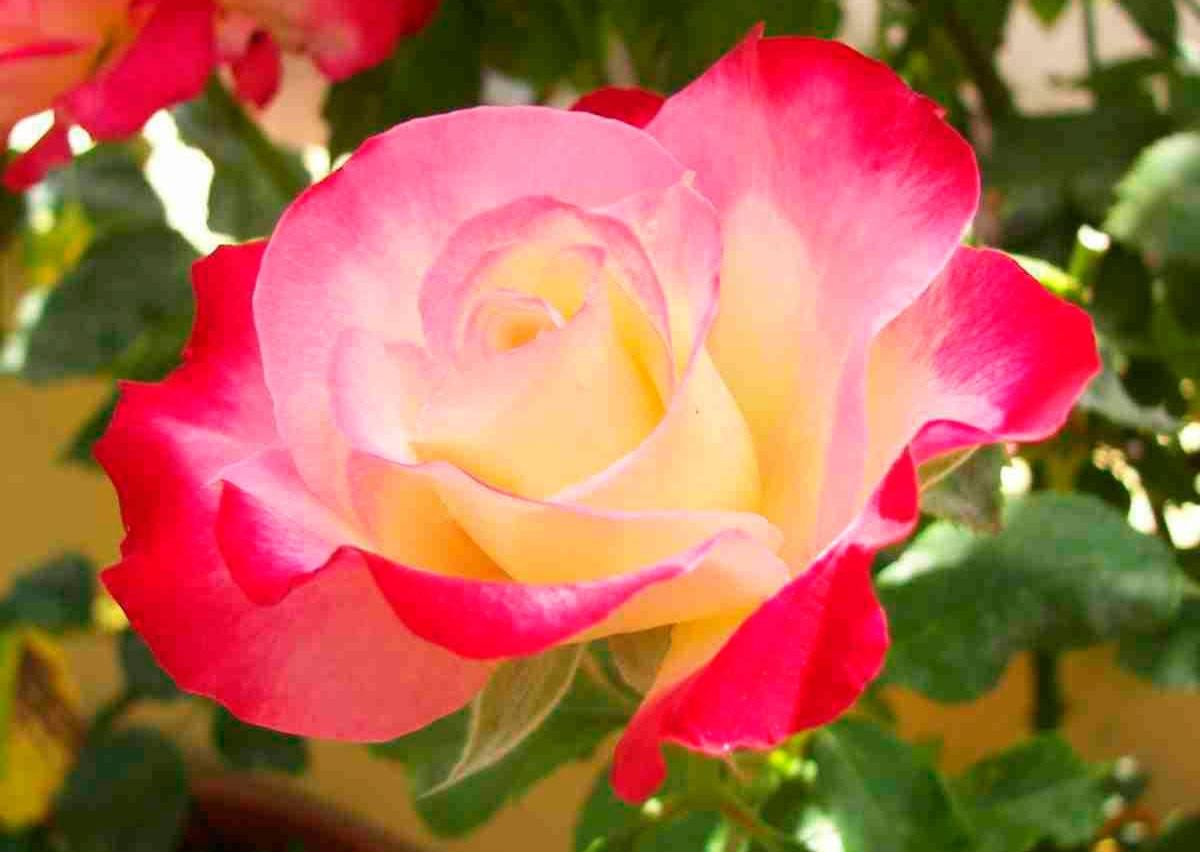 Роза чайная – ароматная красавица в саду и в доме