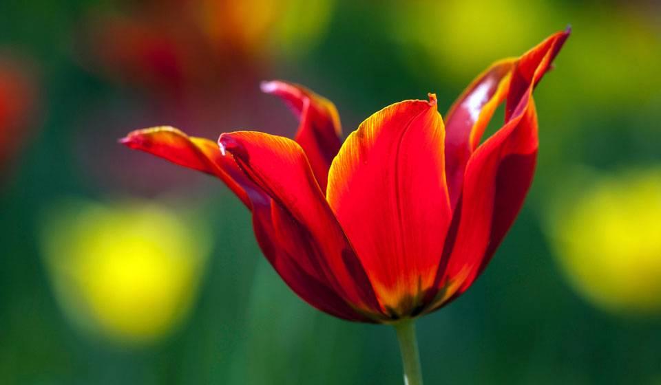 Соблюдаем правила посадки и ухода за тюльпанами в открытом грунте