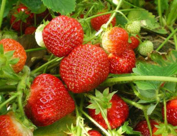 Расти, клубничка, большая и здоровая! советы для хорошего урожая