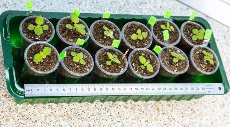 Выращиваем глоксинию семенами: особенности посева