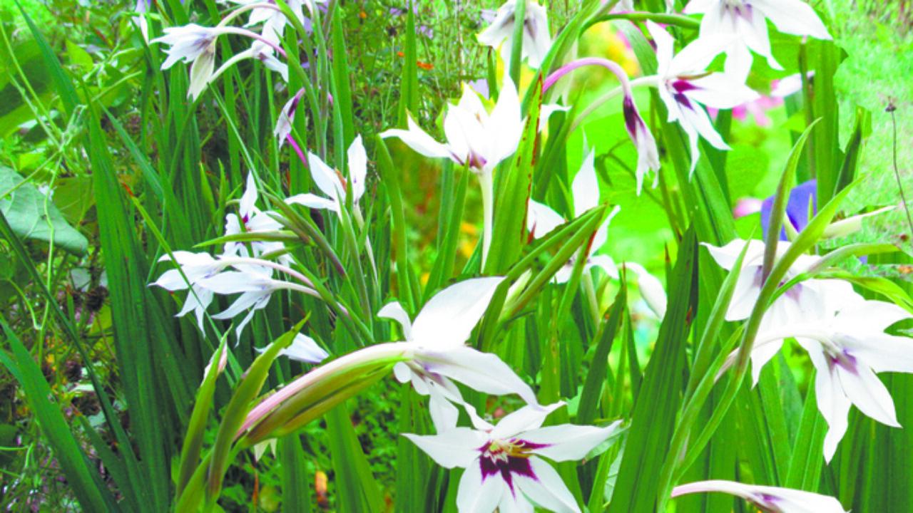 Как выращивать многолетнее клубне-луковичное растение иксию