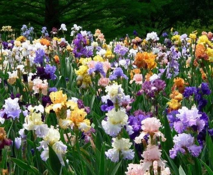 Посадка ириса: украсьте сад разноцветными «петушками». выбор сорта и идеи применения в ландшафтном дизайне.