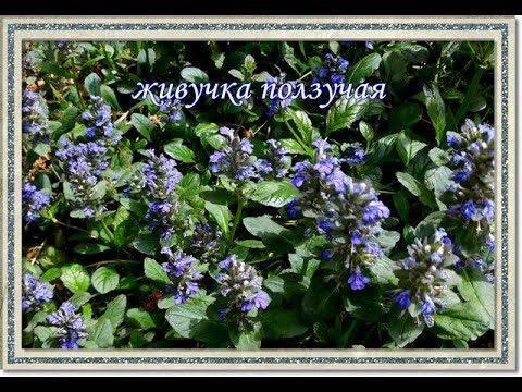 Живучка ползучая: посадка и уход за растением