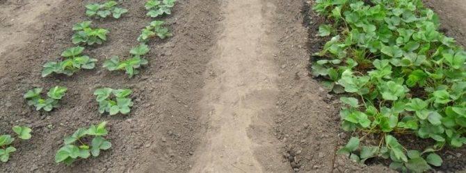 Особенности посадки клубники рассадой