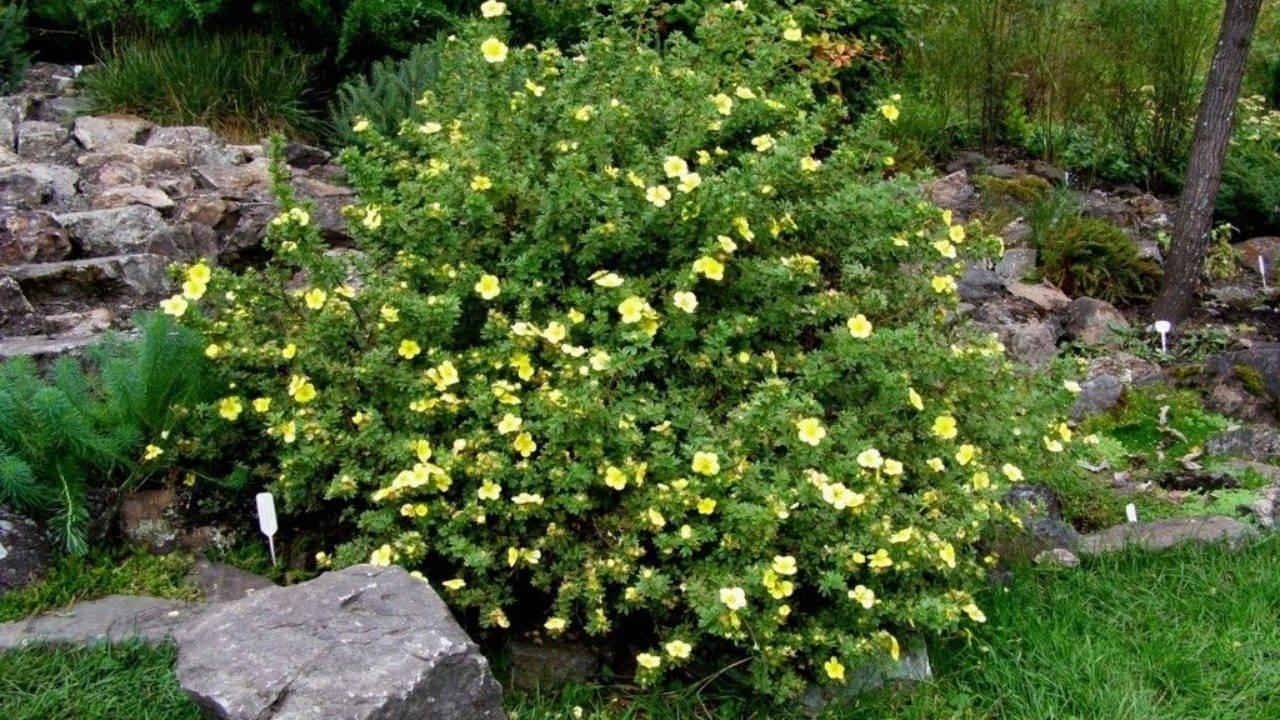 Лапчатка кустарниковая – выращивание и уход