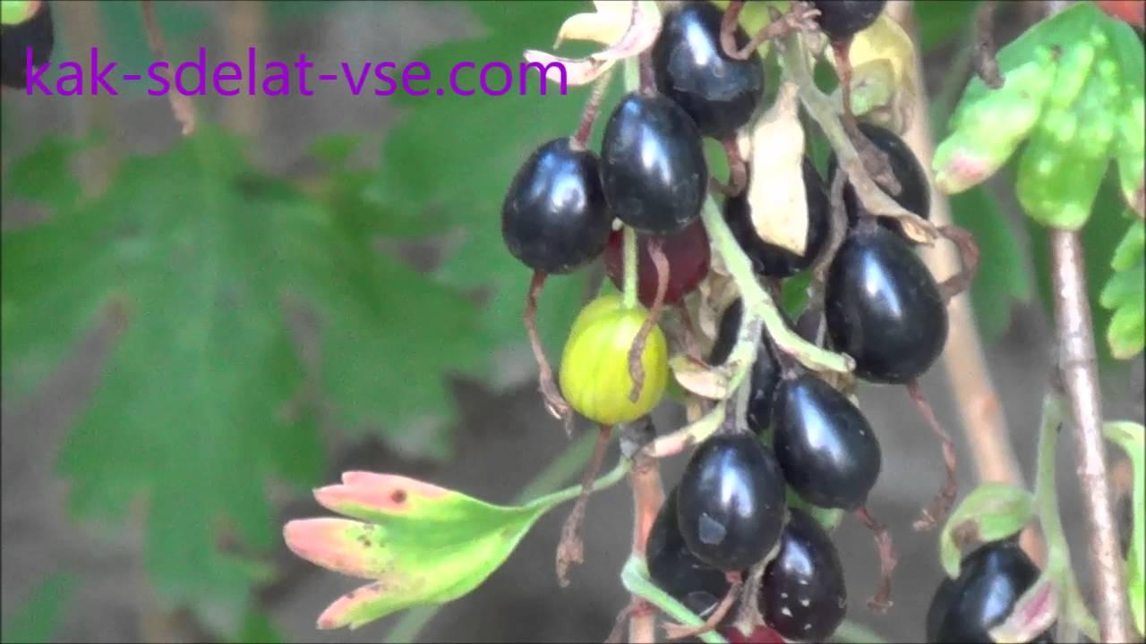 Описание сортов золотистой смородины, посадка, выращивание и уход