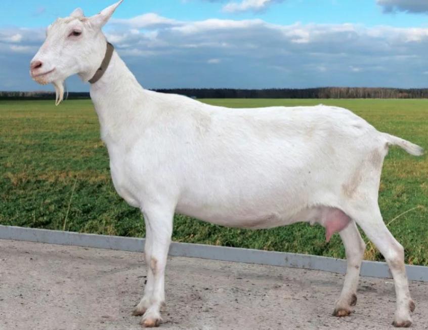 Разведение коз в домашних условиях