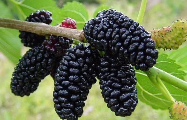 Шелковица белая – сладкая ягода родом из детства