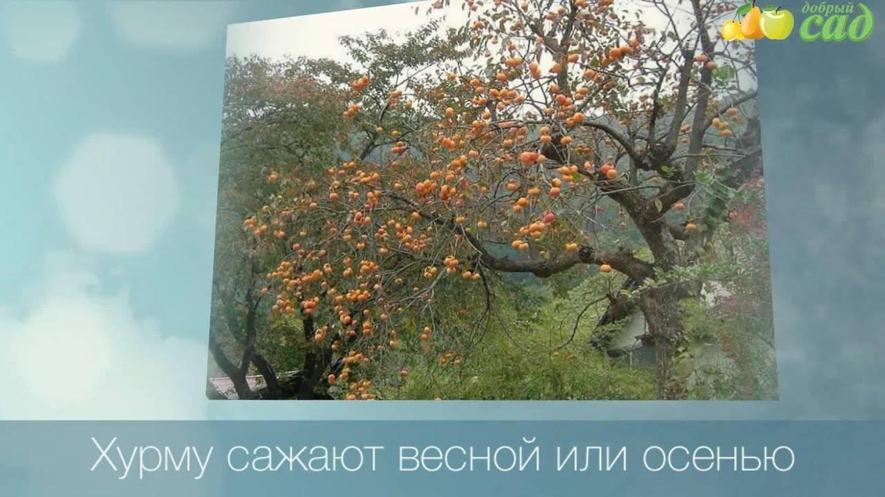 Хурма россиянка: посадка и уход, особенности выращивания