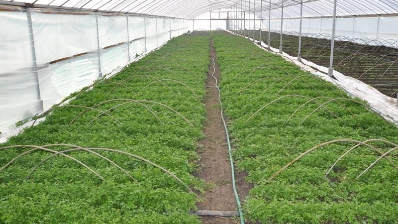 Выращивание в теплице петрушки: подробная инструкция
