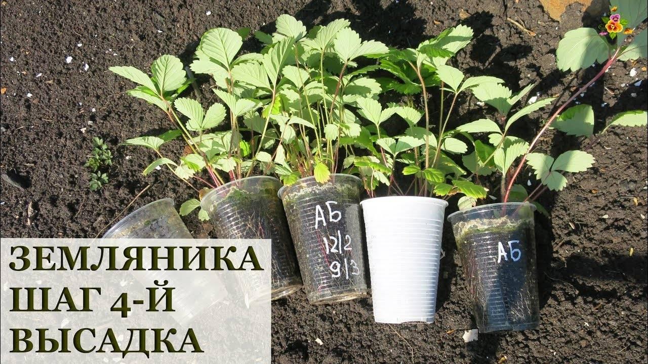 Как правильно и когда нужно высаживать землянику в открытый грунт?