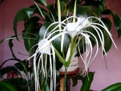 Гименокаллис – выращивание, посадка и уход в домашних условиях