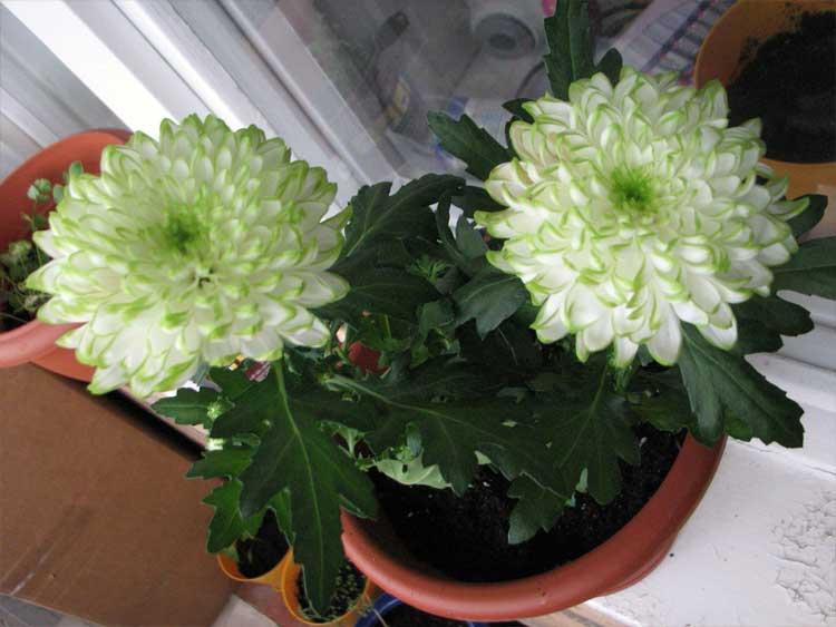 Хризантемы в саду: особенности выращивания в открытом грунте