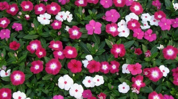 Как вырастить катарантус из семян в домашних условиях — подробное руководство для начинающих цветоводов