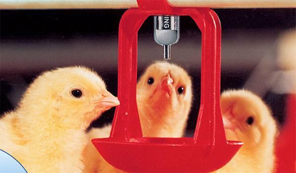 В каких условиях содержать цыплят бройлеров?