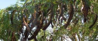 Рожковое дерево: лечебные свойства и противопоказания, применение в народной медицине