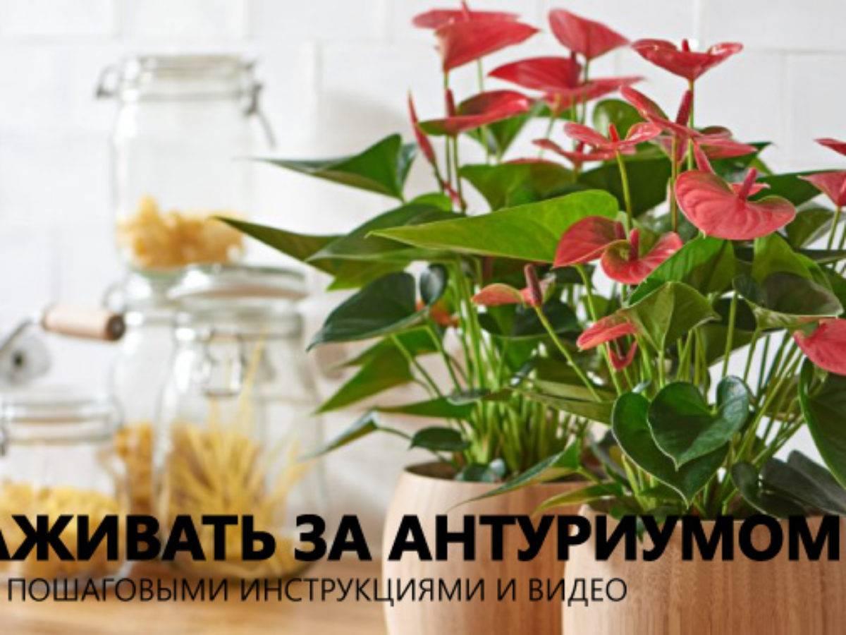 Почему не цветет антуриум в домашних условиях и что делать