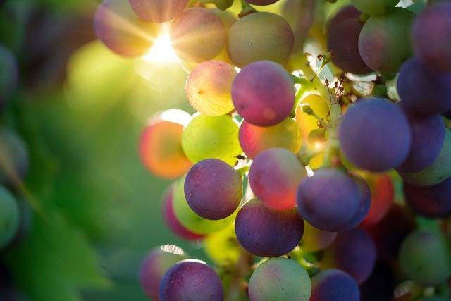 Все, что нужно знать о посадке винограда: когда, где и как