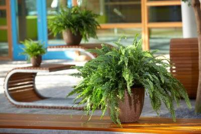 Финиковая пальма. уход, полив, освещение.