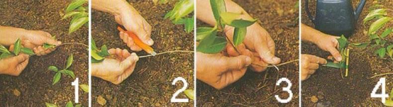 Вегетативное и семенное размножение магнолии