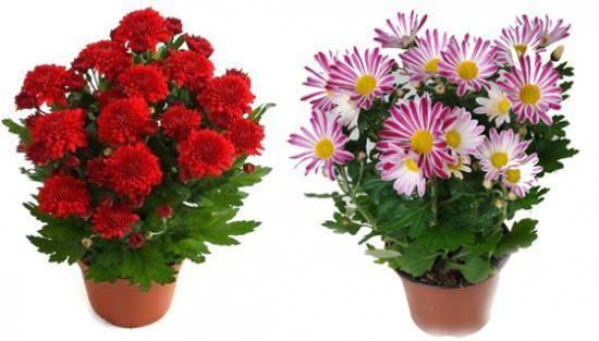Особенности мелкоцветковой хризантемы
