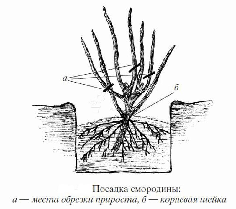 Смородина — посадка и уход в открытом грунте