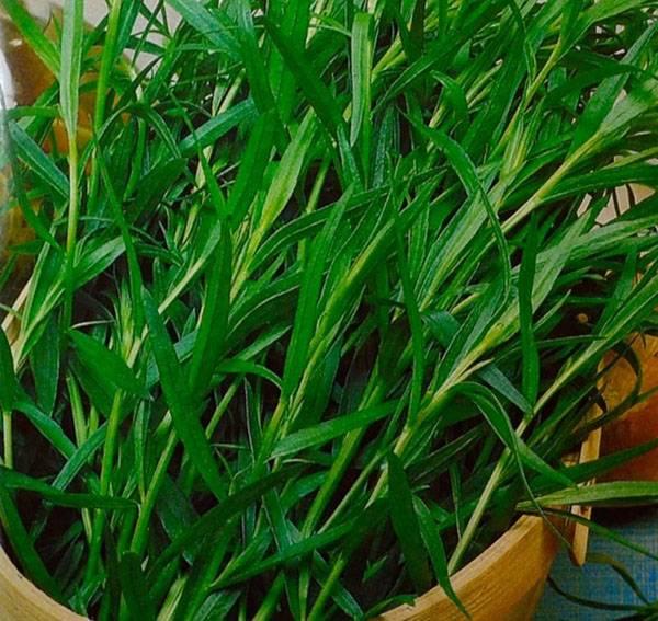 Сорта и виды кустового тархуна, как выбрать ароматный эстрагон и его применение