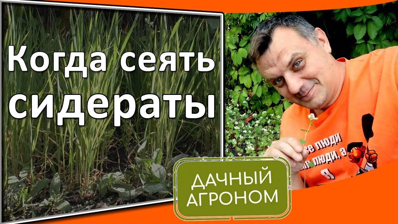Растения-сидераты