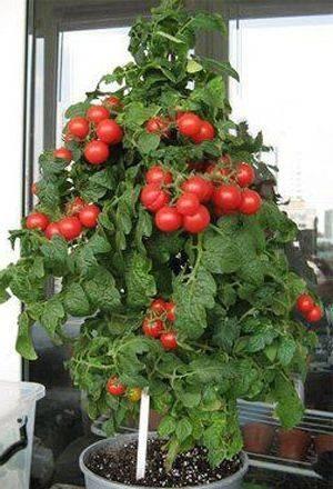 Как вырастить помидоры черри в домашних условиях, на подоконнике зимой, а также на балконе?