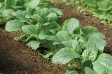 Чем полезен шпинат и как его вырастить