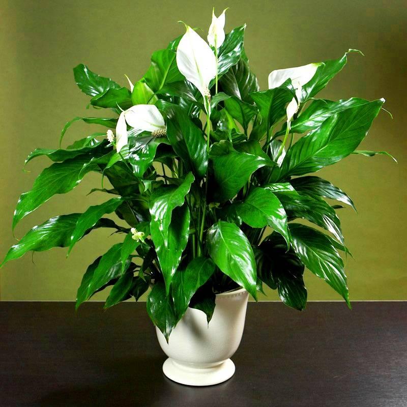 Цветок спатифиллум: женское счастье