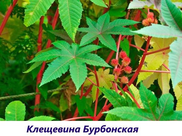 Клещевина: свойства, описание и выращивание растения из семян