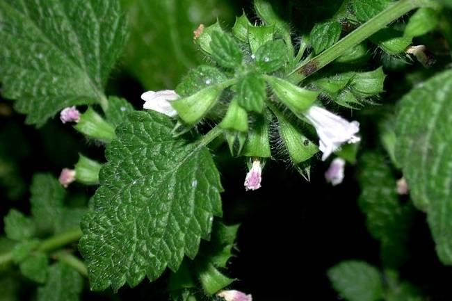 Выращивание мелиссы в саду, советы начинающим — разъясняем вопрос