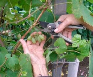 Особенности посадки и выращивания винограда в подмосковье