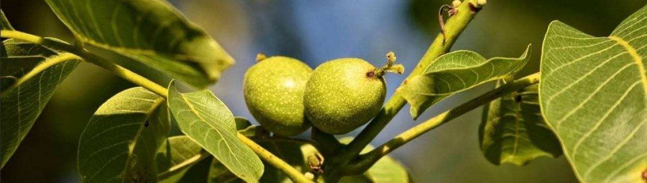 Уникальная разновидность грецкого ореха — сорт кореновский. подробное описание, включая правила выращивания
