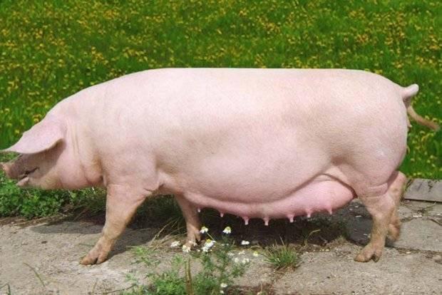 Свиньи породы ландрас: кормление и разведение