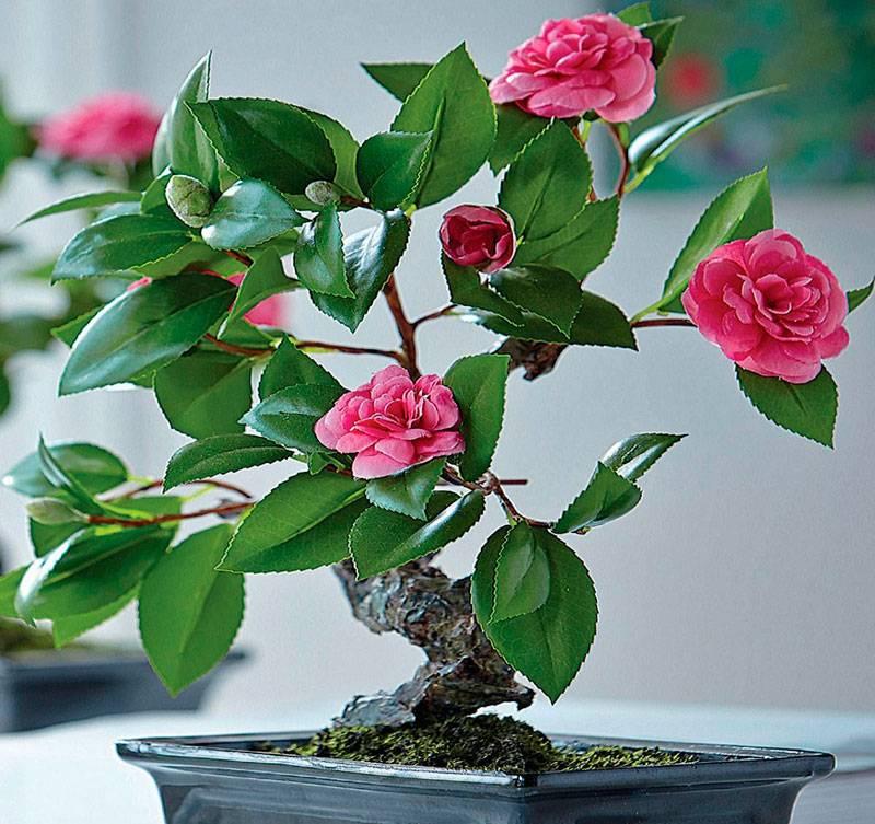 Тонкости посадки и выращивания камелии китайской (camellia sinensis)