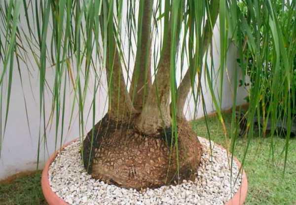 Нолина, или бокарнея — «бутылочное дерево»