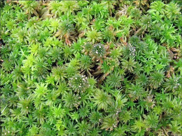 Мох сфагнум: описание, использование для комнатных растений. где растет сфагнум?