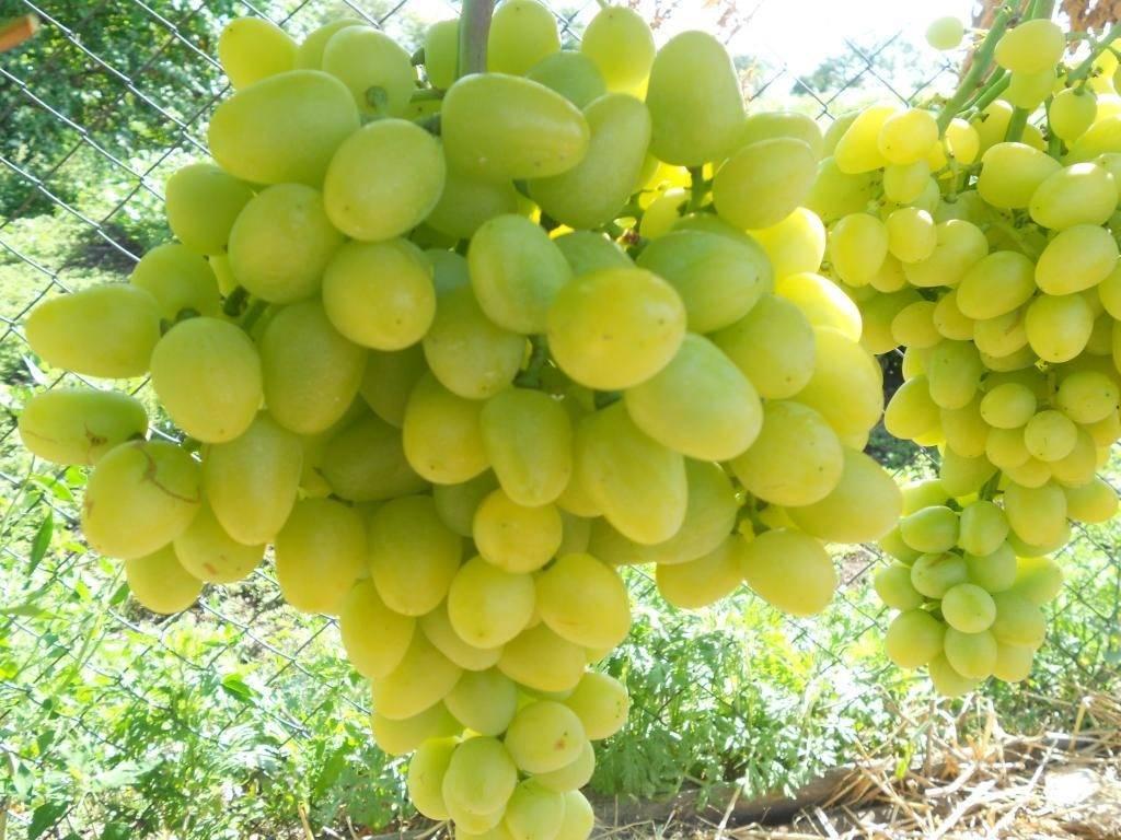 Сорт винограда Преображение, фото и описание, плюсы и минусы