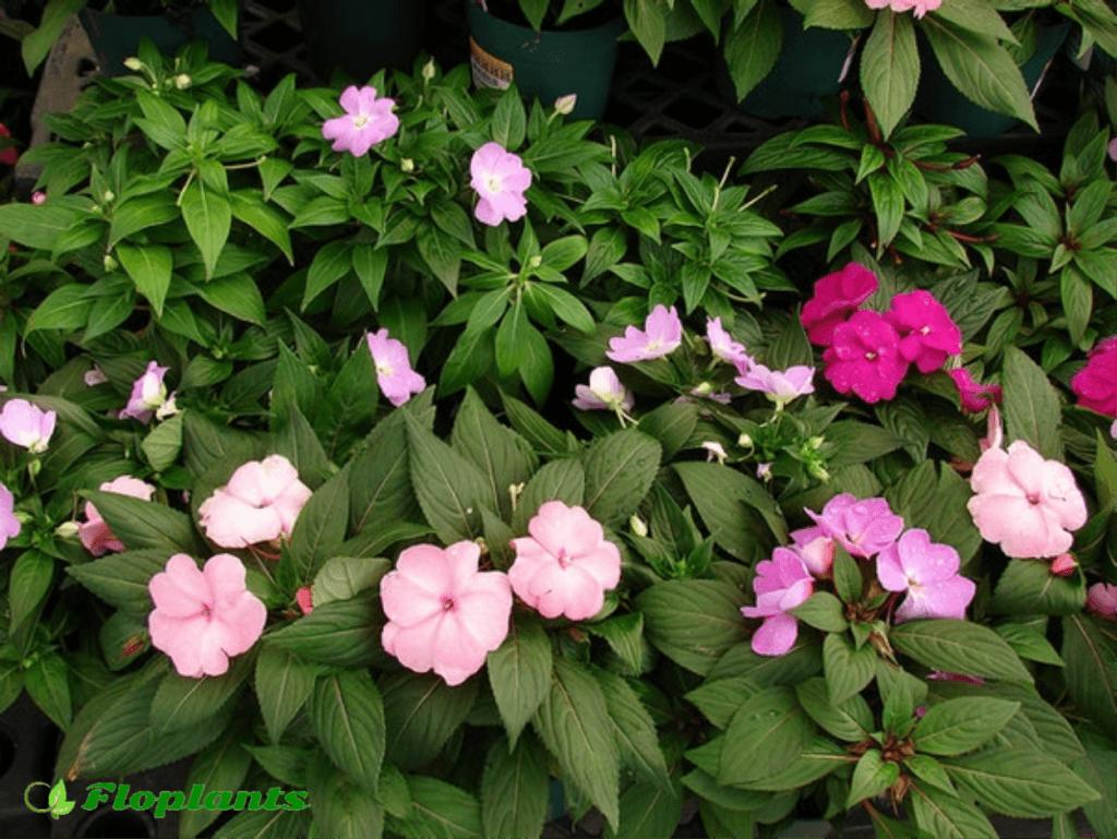 Бальзамин садовый: секреты посадки и ухода