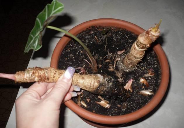 Описания и фото сортов и разновидностей алоказии для выращивания дома