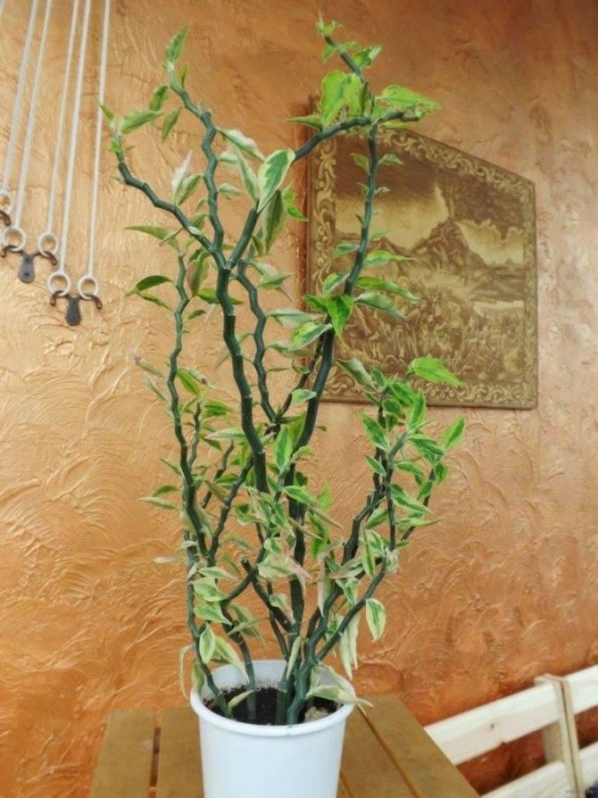 Педилантус – красивый тропический кустарник. обзор видов и уход
