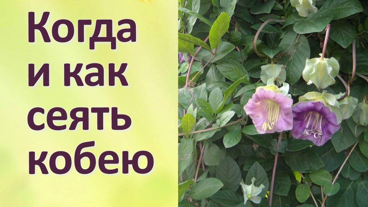 Лазающая кобея: выращивание из семян в домашних условиях